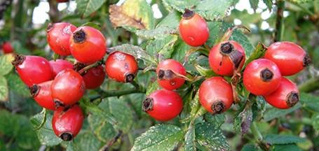frutti di bosco essiccati proprietà